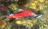 A red kokanee salmon