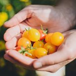 Handful of cherry tomatoes