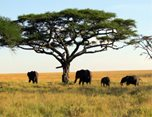 Tree with widespread branches with four elephants seeking shade underneath. Image Courtesy of David Berkowitz (https://www.mahlatini.com)