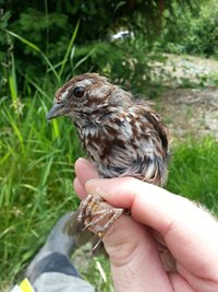 song sparrow in hand