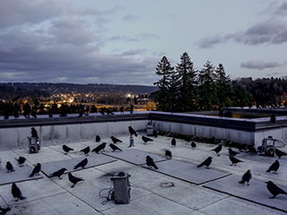 crows at UW Bothell