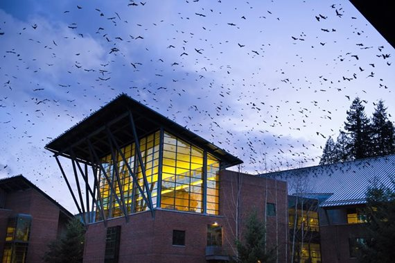 Crows flocking to UW Bothell