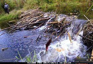 Salmon jumping at wetlands beaver dam.
