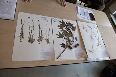 herbarium sheets on table