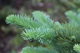 Noble fir branch