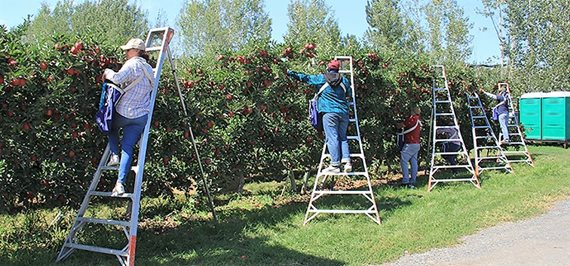 Farmworkers picking apples