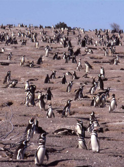 Many Penguins