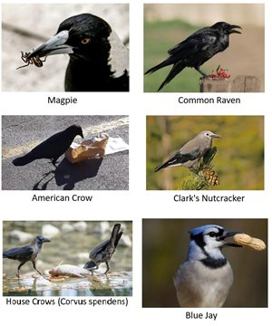 corvids eating a variety of foods