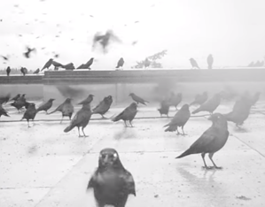 video-capture-of-crows-on-rooftop