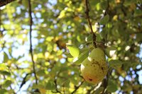 ripe pear growing on fruit tree