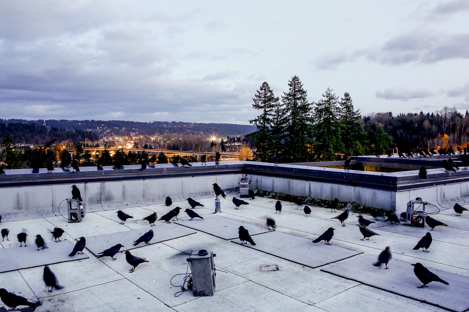 crows on the roof