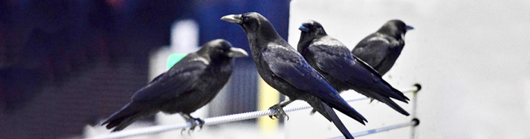 Crows perched on a wire