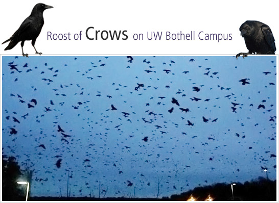 Crows on UW Bothell Campus
