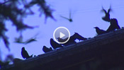 Crows Converge at UW Campus