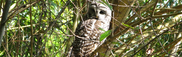 Barred Owl, 2008 Photographer: Facility Services